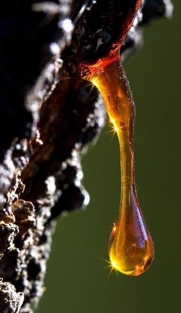 Собиратели ладана надрезают кору дерева, из надрезов начинает сочиться смола в виде капель бледно-желтого или оранжевого цвета, затем они темнеют и застывают