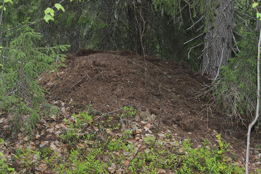 Разрушенный медведем муравейник